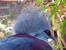 Południowy koronowany gołębi Goura scheepmakeri zdjęcia stock