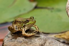 Południowy lampart żaby Lithobates sphenocephalus obrazy royalty free