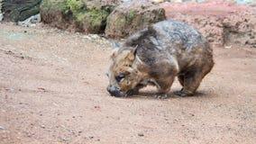 Południowy Ostrożnie wprowadzać Wombat, Featherdale przyrody park, NSW, Aus Obrazy Stock