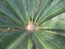 Południowy Palmy zbliżenie Fotografia Stock