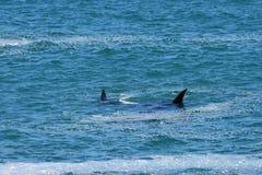 Południowy Prawy wieloryb & łydka, Hermanus, Południowa Afryka obrazy royalty free