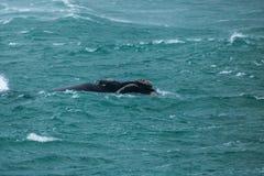 Południowy Prawy wieloryb W burzy zdjęcia stock