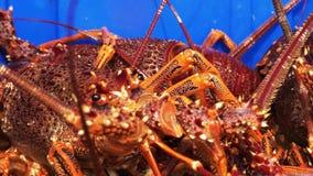 Południowy rockowego homara ekstremum zamknięty w górę zdjęcie wideo