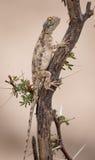 Południowy Rockowy Agama słońca garbarstwo Zdjęcia Royalty Free