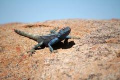 Południowy Rockowy Agama Obraz Royalty Free