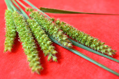 Południowy sandbur kwiat Zdjęcia Stock