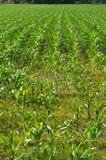 Południowy Szwajcaria: Mais Uprawia ziemię w Maggia Rzecznej delcie blisko A obraz stock