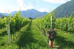 Południowy Szwajcaria: Wino jardy w Maggia Rzecznej delcie blisko Asc fotografia stock