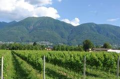 Południowy Szwajcaria: Wino jardy w Maggia rzeki delcie obraz royalty free