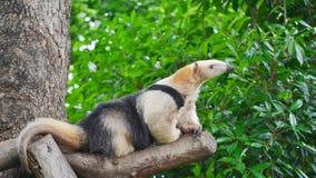 Południowy tamandua obraz stock