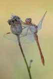 Południowy Wężowy dragonfly Sympetrum meridionale zdjęcia royalty free
