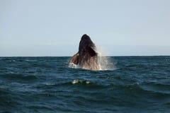 Południowy wielorybi doskakiwanie nad wodą, Hermanus Obrazy Royalty Free