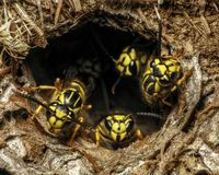 Południowy Yellowjacket & x28; Vespula squamosa& x29; chronić gniazdowego dziury wejście w gazonie Obrazy Royalty Free