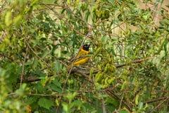 Południowy zamaskowany tkacza park narodowy, Południowa Afryka Fotografia Royalty Free