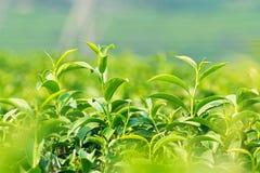 Połysk młody herbaciany liść Obrazy Stock