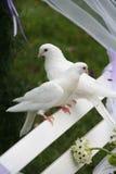 poślubić gołębi Obraz Royalty Free