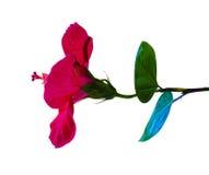 poślubnik Karkade abstrakcjonistyczny kwiatu poślubnika ilustraci wektor Poślubnika kwiat odizolowywający dalej Fotografia Stock