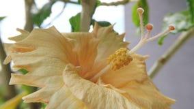 Poślubnik, makro- kwiat zbiory