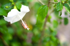 Poślubnik menchii kwiat na gałąź Fotografia Royalty Free