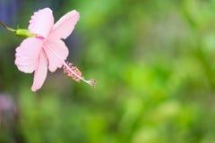 Poślubnik menchii kwiat na gałąź Zdjęcia Stock