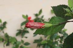 Poślubnika środka pączka kwiat w fotografiach Zdjęcie Stock