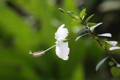 Poślubnika biały kwiat fotografia royalty free
