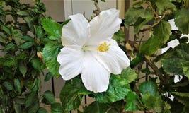 Poślubnika biały kwiat Obraz Stock
