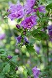 Poślubnika krzaka kwitnienie z purpurami kwitnie w ogródzie - poślubnika syriacus lawendy szyfon zdjęcie stock