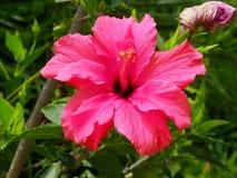 Poślubnika różowy Kwiat Obraz Stock