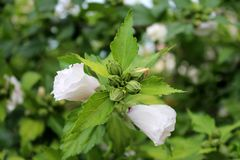 Poślubnika syriacus Czerwony serce lub róża Sharon kwiatu Czerwona Kierowa rozmaitość zamykający pączki z dwa kwiatami g stronnic zdjęcie stock