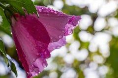 Poślubnika syriacus kwiat zakrywający z raindrops, selekcyjna ostrość, strona zamknięty widok obrazy royalty free