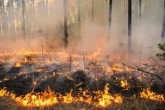 Pożar lasu w sosna stojaku obraz royalty free