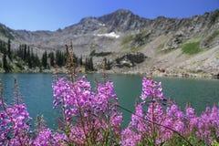 Pożarnicza świrzepa i White Pine jezioro Obrazy Stock
