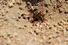 Pożarnicze mrówki w brzeg jeziora fotografia stock