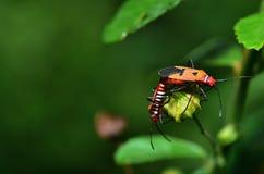 Pożarniczej pluskwy Apterus Pyrrhocoris kotelnia na zielonej roślinie zdjęcie royalty free