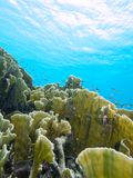 Pożarniczy koral Obraz Royalty Free