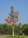 Pożyczkowy drzewo z pomarańczowym kwiatem Zdjęcia Royalty Free