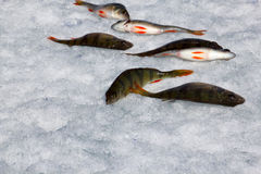 połów zima Obraz Royalty Free
