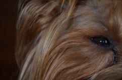 Połówka twarz Yorkshire Terrier Zdjęcie Royalty Free