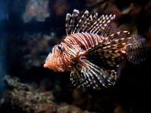 Pożarnicza ryba zdjęcia royalty free