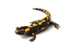 Pożarniczy jaszczur na bielu (Salamandra salamandra) Zdjęcie Stock