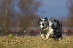 pościg balowy pies Obraz Royalty Free