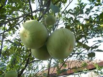 Pomelo pummelo tree. And the fruits Royalty Free Stock Photos