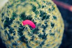 Po kwitnąć, kaktus ja, wtedy będzie w górę różowej owoc Fotografia Royalty Free