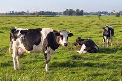 Po'lder holandês com algumas vacas milch da leiteria do frisão Foto de Stock