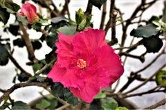 Poślubnik w kwiacie Zdjęcia Stock