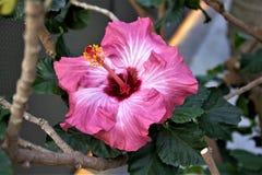 Poślubnik w kwiacie Obraz Royalty Free