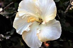 Poślubnik w kwiacie Obrazy Royalty Free