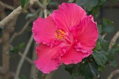 Poślubnik w kwiacie Obraz Stock