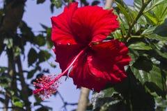 Poślubnika czerwony kwiat obrazy royalty free
